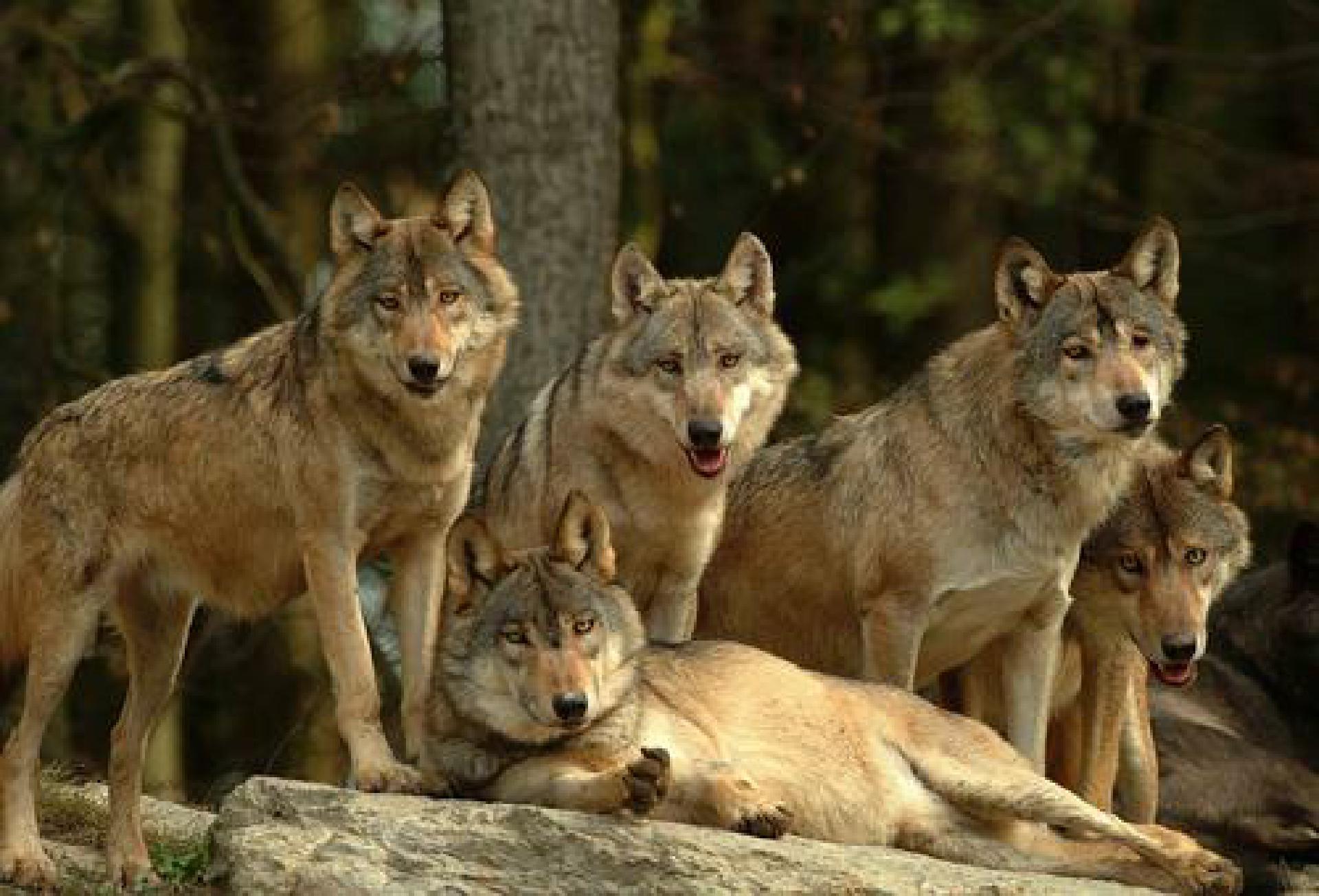 1760490_1_BadMergentheim-Tierpark-Wolfsrudel_Fauna-Wildtierpark