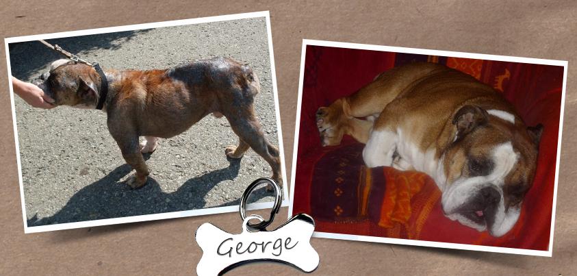 George war Leishmaniose-positiv, als er nach Deutschland kam. Das ist er immer noch, aber mit der geeigneten Medikation hat er sich großartig erholt.