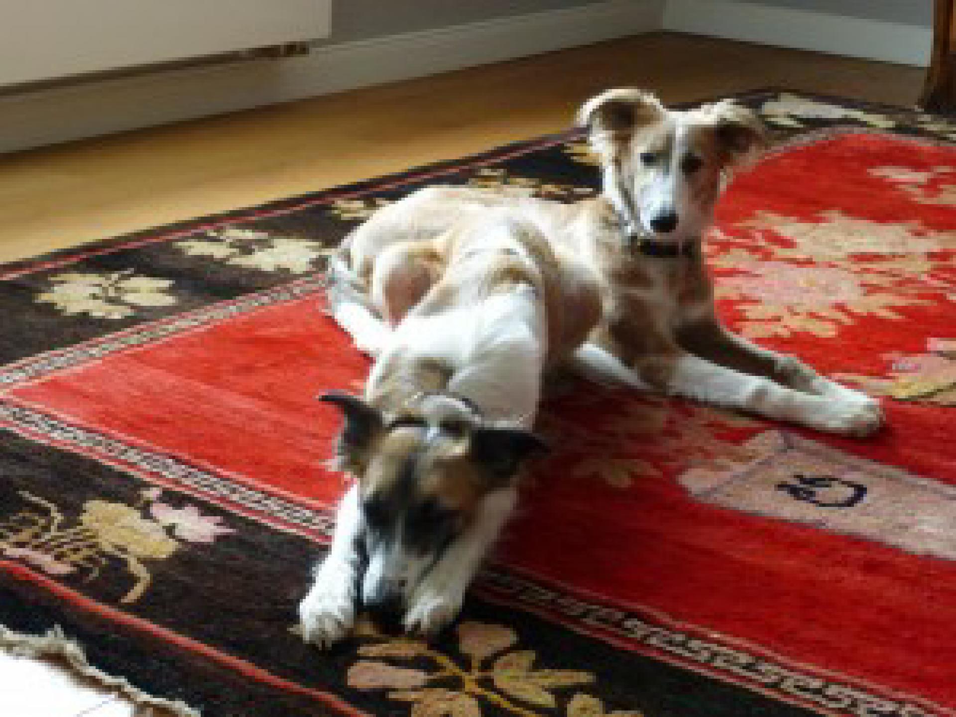 Salonhunde