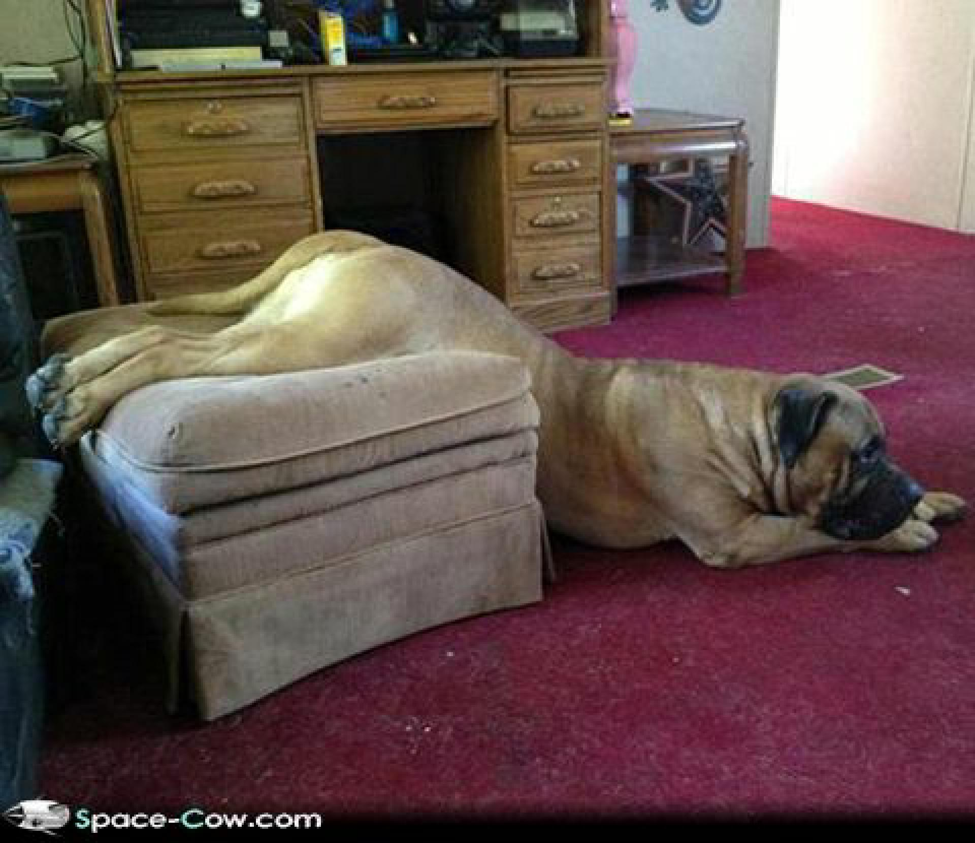 We-need-new-furniture-funny-animals-dogs-pics