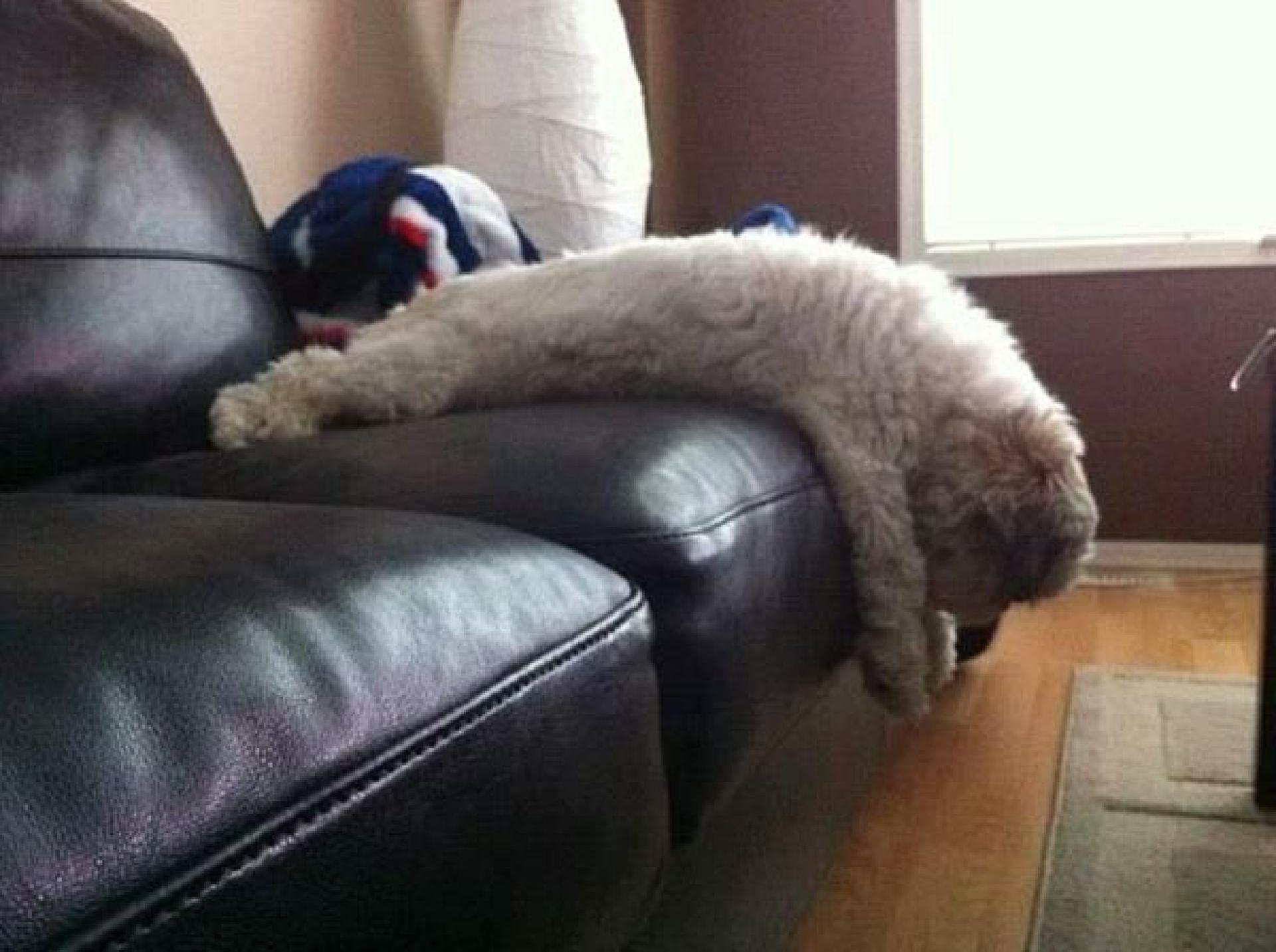 funny-dog-plank-on-sofa