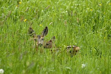 Kitze sind leicht zu übersehen im hohen Gras