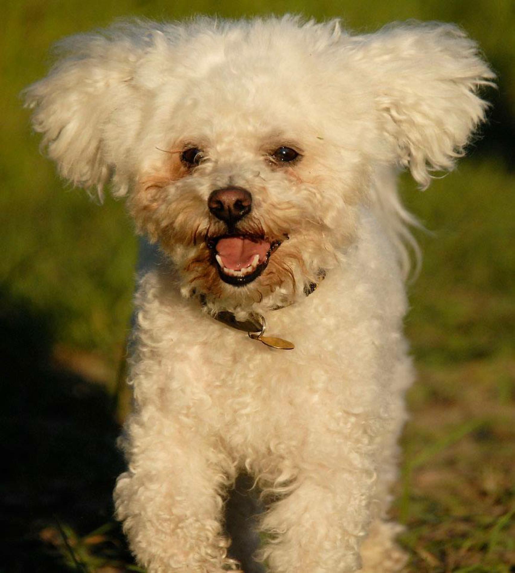 Grinsekatze (Cosimo, der Hund meiner Mutter)