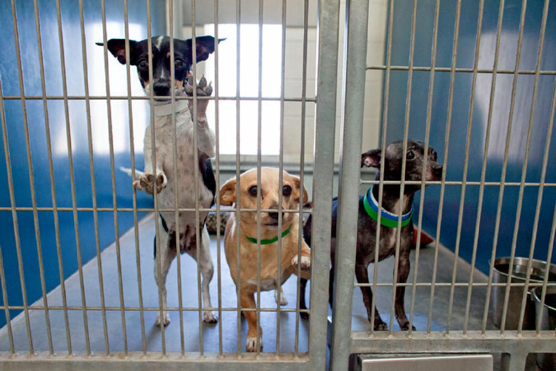 Die Tierheime in Arizona sind so überfüllt mit Chihuahuas, dass die Hunde mittlerweile in andere Bundesstaaten gebracht werden, um ein Zuhause finden zu können
