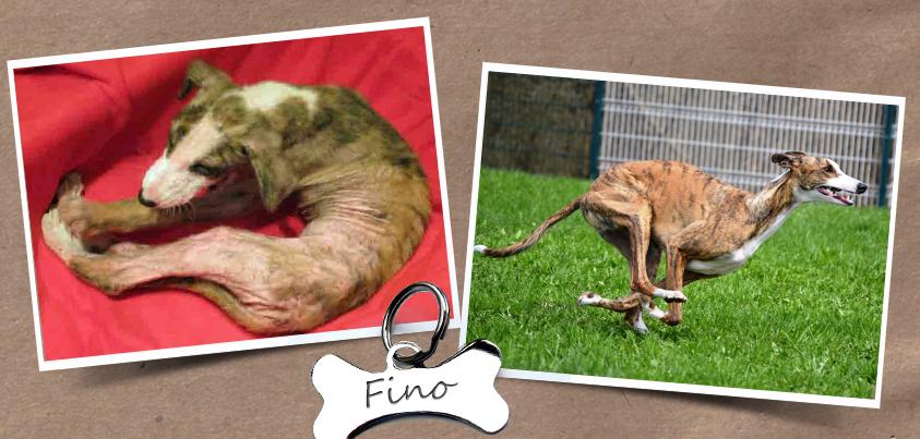 Fino wurde von TSV Galgo Friends e.V. gerettet und vermittelt