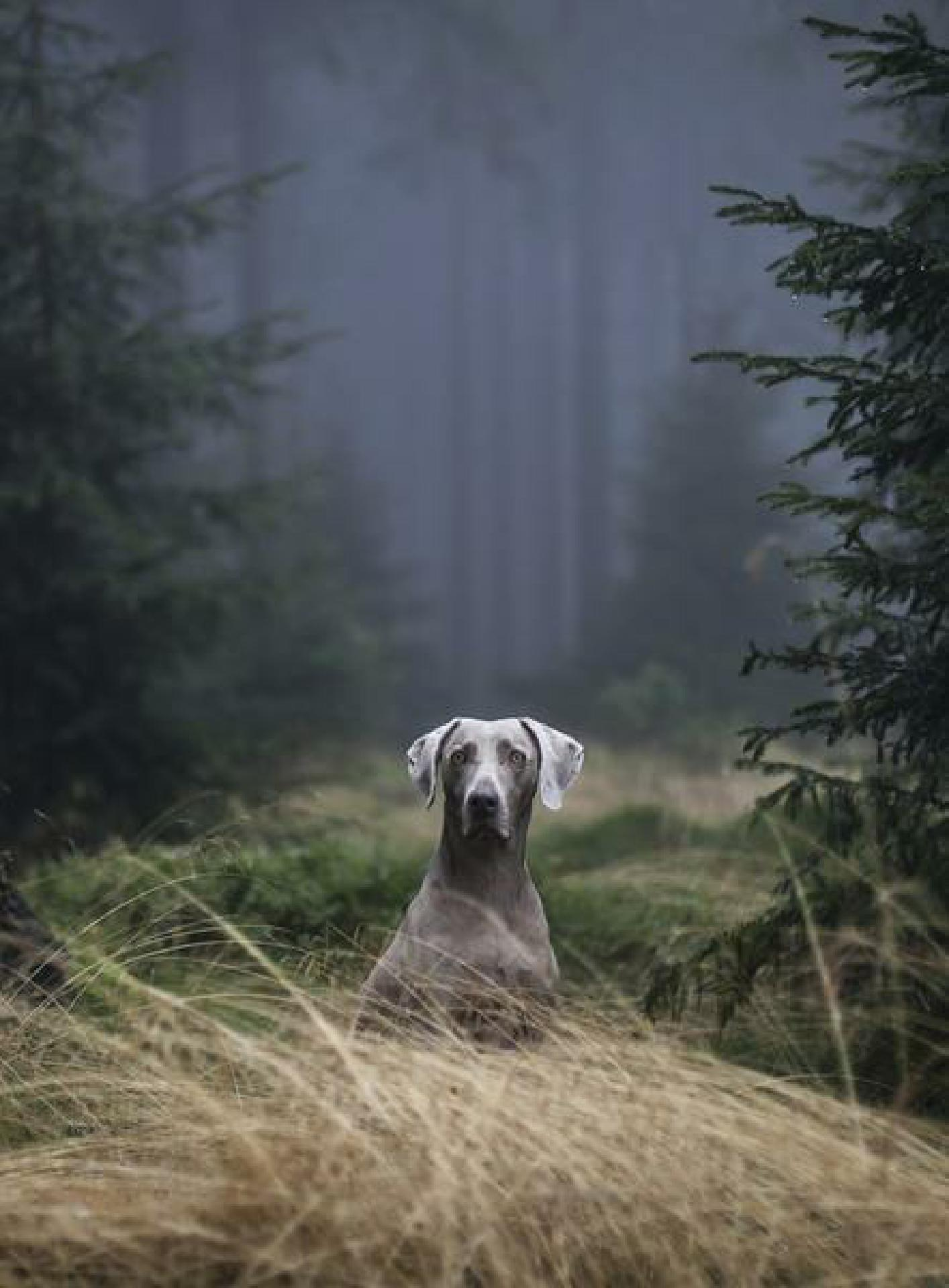 14 Sep 2014, Germany --- Weimaraner, hunting dog, in the woods, Thuringian Forest, Thuringia, Germany, Europe --- Image by © Nordreisender/imageBROKER/Corbis