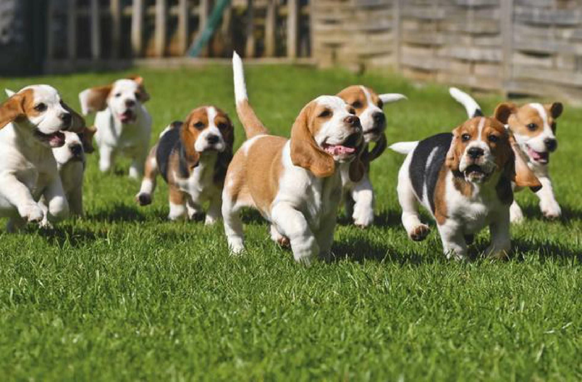 Beagle (Canis lupus f. familiaris), Welpen, werden zur Jagd ausgebildet | Beagle (Canis lupus f. familiaris), puppies, are being educated for hunting