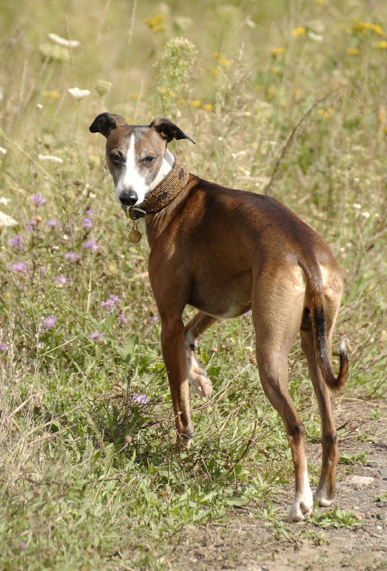 Der Hund soll sich während des Spaziergangs immer wieder Ihrer versichern