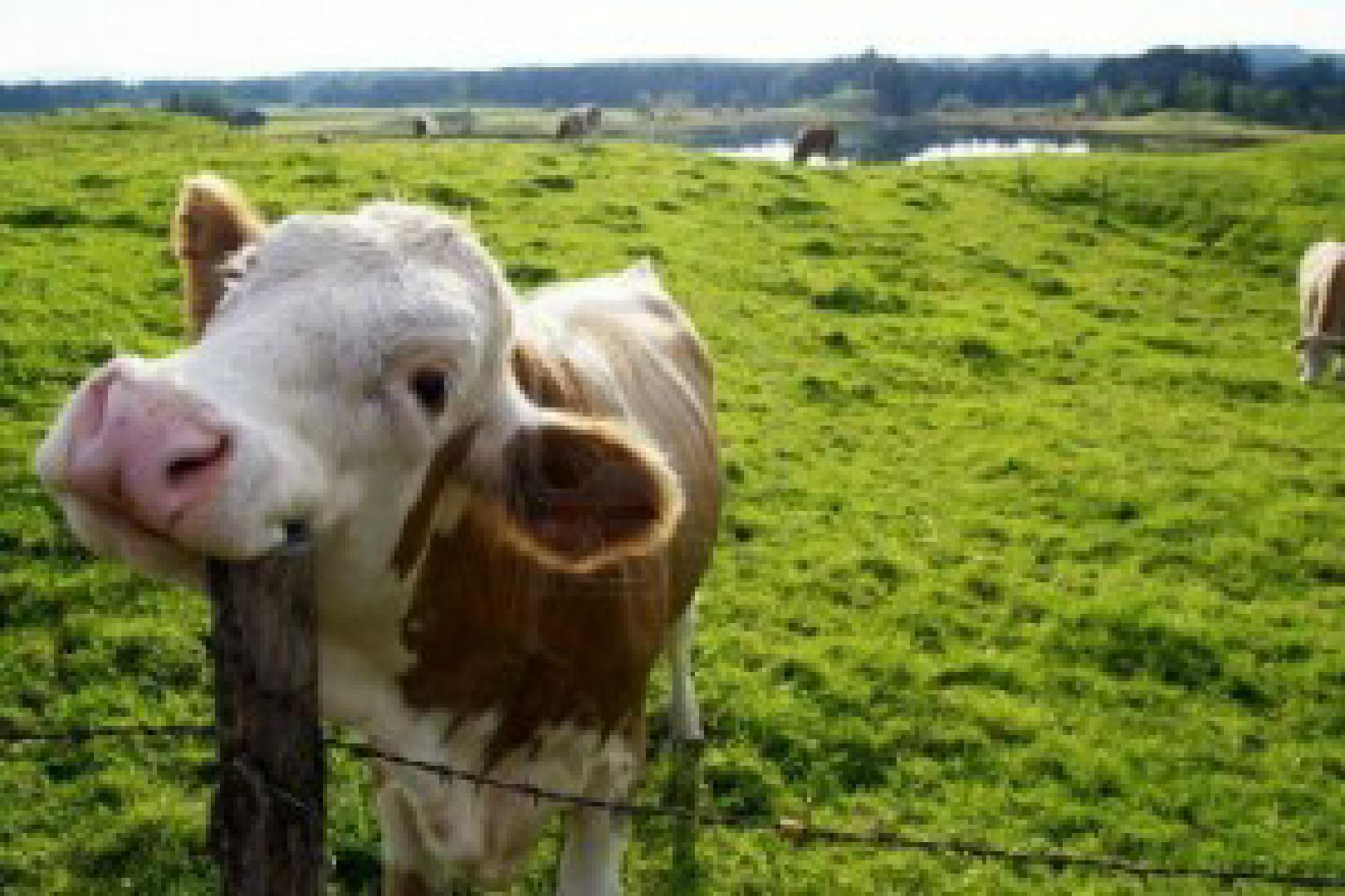 happy-cow