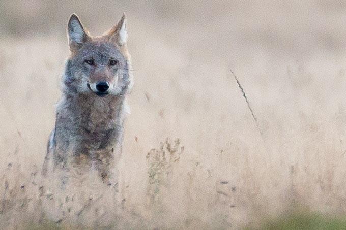 """""""Der Wolf hat keinerlei biologischen Vorteil von Impulskontrolle"""", so die Wolfs-Expertin Elli Radinger"""