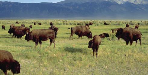 Foto: Ron Semrod Nicht die Art, wie Bisons für die Fleischindustrie leben dürfen